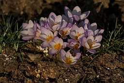 Crocus, honeybee