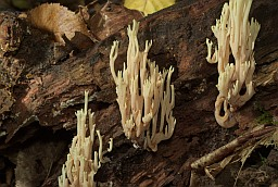 Beautiful clavaria (Ramaria formosa)