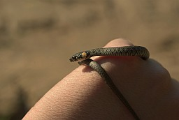 Little grass snake