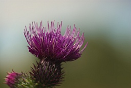 Plumeless thistle (Carduus acanthoides)